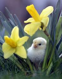 daffodils and chick